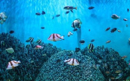 """basslet: banco de peces """"Goldie del mar"""" (Pseudanthias squamipinnis) en el Mar Rojo arrecife de Aqaba"""