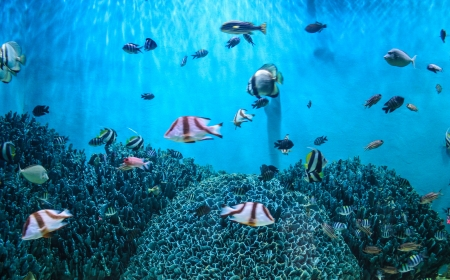 exoticism saltwater fish: shoal of fish Sea goldie (Pseudanthias squamipinnis) on the red sea coral reef of aqaba