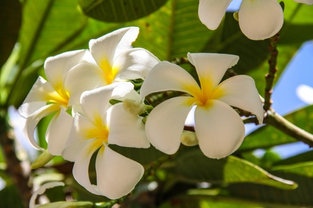 traditional flower in Thailand and Indonesia and Hawaii photo