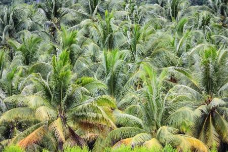 piantagione di alberi di cocco su un'isola tropicale in Thailandia