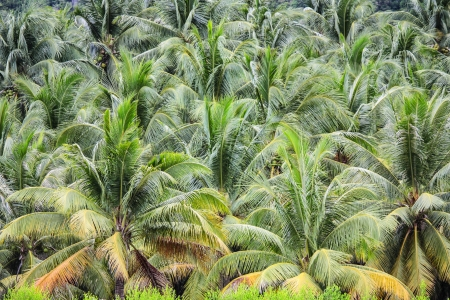 plantation of coconut trees on a tropical island in Thailand