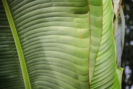 Close up of banana palm leaves Stock Photo