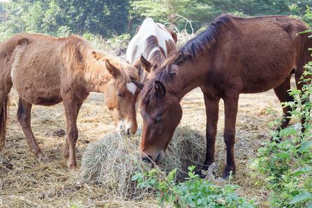 Many horses eat morning grass, horse food.