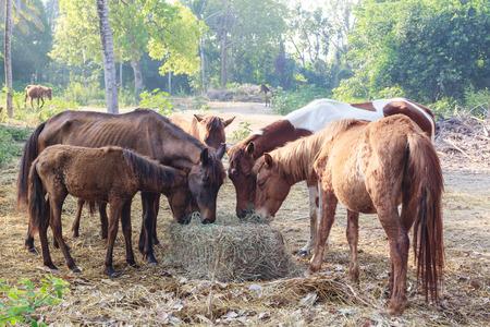 yegua: Muchos caballos tienen hambre de heno de la mañana, alimentación de caballos.