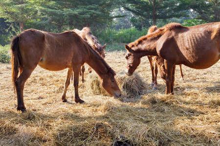 Many horses are hungry for morning hay, horse feed.
