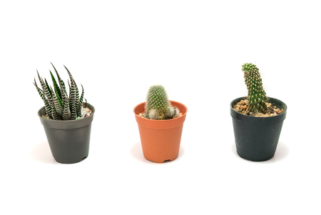 aloe vera flowers: Cactus Potted plants on a white background.