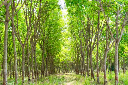 Gummi-Plantage und Wald von Chanthaburi Thailand