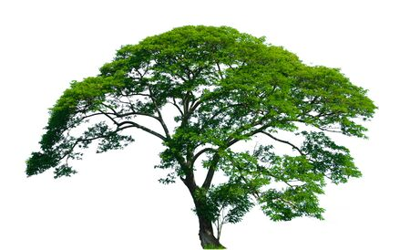 field maple: tree of Isolated on white background Stock Photo