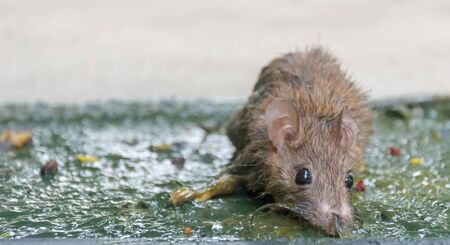 Rat Mouse trap at Dirt and disease Archivio Fotografico