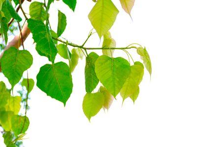 Bodhi tree leaves green white background