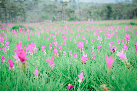 Krachai flower national park Chaiyaphum Province Thailand Stock Photo