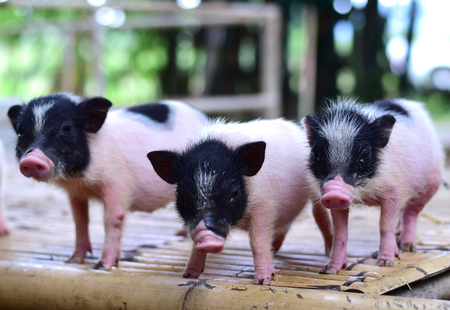 pig small body dwarf pigs miniature