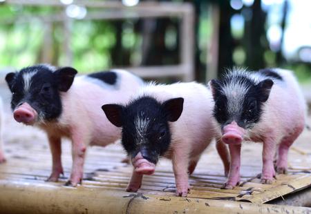 pig small body dwarf pigs miniature Standard-Bild - 104597745