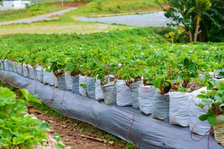 Strawberry farm to plant In the garden Standard-Bild