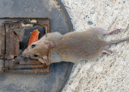 Disposal dead mouse caught in mousetrap in house mice control