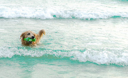 Golden dog collecting garbage in the sea