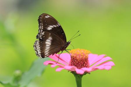 Grand papillon d'Eggfly sur fleur rose
