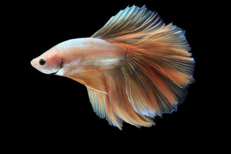 Betta fish, siamese fighting fish, betta splendens (Halfmoon Gold betta ) isolated on black background