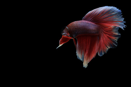 Betta fish, betta splendens, Capture the moving moment of siamese fighting fish isolated on black background