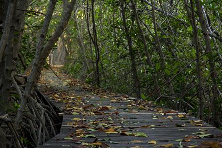 Wooden Bridge in Mangrove Forest at Laem Phak Bia, Phetchaburi, Thailand Banco de Imagens - 92395524