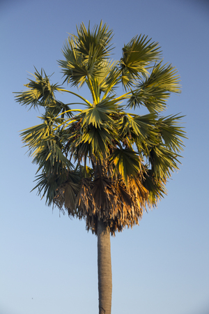 Fan Palm, Palmyra Palm, Sugar palms (borassus flabellifer) with the blue sky background Stock Photo