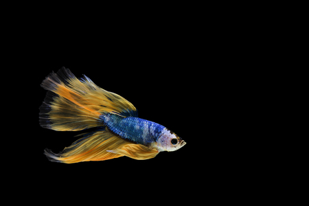 Betta fish, siamese fighting fish, betta splendens (Halfmoon fancy Yellow betta ),isolated on black background.