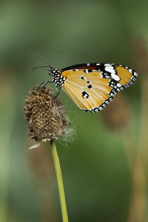 Plain Tiger butterfly (Danaus chrysippus chrysippus) on green garden background