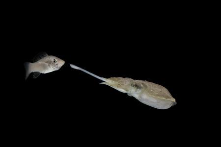 Seppie che mangiano pesce con sfondo nero isolato Archivio Fotografico