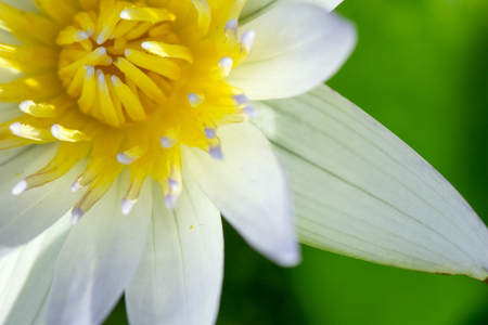 Close up of white lotus flower with yellow pollen on green leaf background