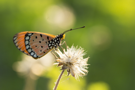The Tawny Coster butterfly (Acraea violae) on flower and green nature Фото со стока - 115775625