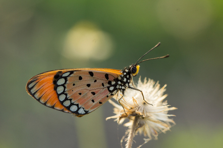 The Tawny Coster butterfly (Acraea violae) on flower and green nature Фото со стока - 115775626