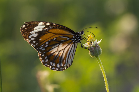 The Malay Tiger butterfly (Danaus affinis malayana) on flower and green nature Фото со стока - 115775627