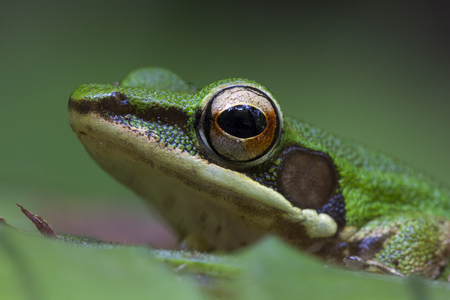 Thailand Green Tree Frog on green leaves, Head shot close up of Green Frog