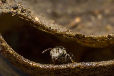 Stingless bees stand front of nest, Stingless bees gathered on nest hole, close up stingless bee on nest, Apinae, insect, Thailand.