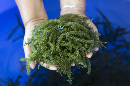 Caulerpa lentillifera, Sea Grapes, Green Caviar in woman hands, Healthy Food, Thailand.