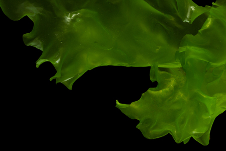 Ulva rigida, sea lettuce isolated on black background. Thailand.