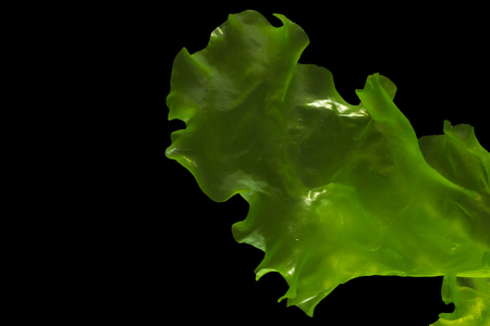 Ulva rigida, sea lettuce isolated on black background. Thailand. Zdjęcie Seryjne - 122401684
