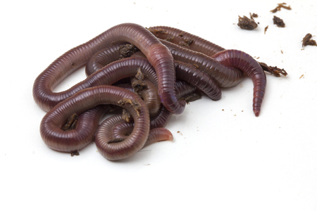 African Night Crawler (Eudrilus eugeniae), earthworms isolated on white background.
