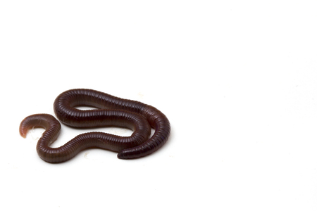African Night Crawler (Eudrilus eugeniae), earthworms isolated on white background.