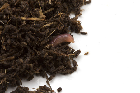 African Night Crawler (Eudrilus eugeniae), earthworms  and Fertile soil isolated on white background. Stock Photo