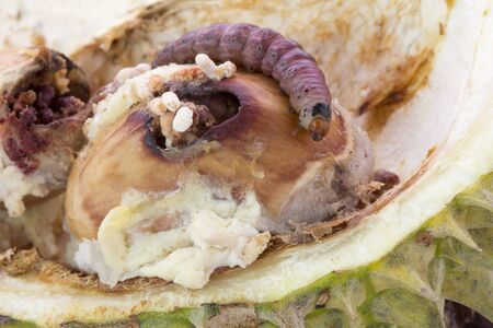 Close up of worm on durian fruits, Durian seed.