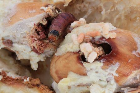Close up of worm (Mudaria luteileprosa Holloway) on durian fruits, Durian seed borer.