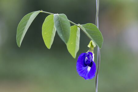 Butterfly pea,bluebellvine, blue pea, cordofan pea (Clitoria ternatea) and Green Leaves on the natural, Thailand.