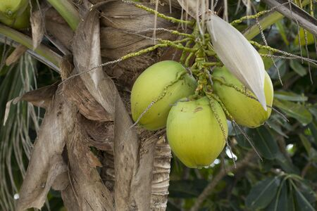 Close Up of green Coconut Fruits and Green Leaves on the natural tree, Thailand.