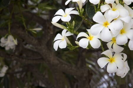 Close Up of White Plumaria flower or Desert Rose flower and Green Leaves on the natural tree, Thailand.