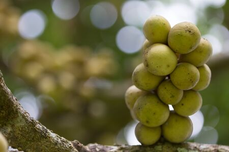 Close up fresh fruit Longkongs and leaf on tree in the garden, Longkong is a tropical fruit. Thailand.