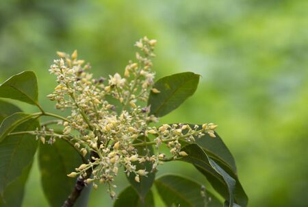 Rubber flowers (Hevea brasiliensis) and green leaves in garden, Thailand. Banco de Imagens
