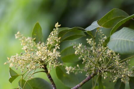 Rubber flowers (Hevea brasiliensis) and green leaves in garden, Thailand. Imagens