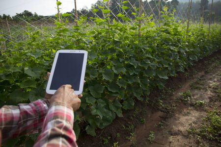 Farmer using digital tablet computer in cultivated cucumber crops field, modern technology application in agricultural growing activity, Thailand.