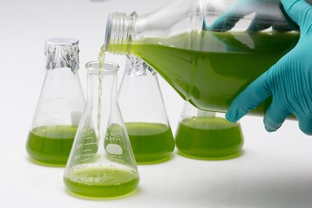 Marine plankton or Microalgae culture into a flask in the laboratory, Green algae or phytoplankton can produce biofuel industry, Algae fuel, food, industries or biotechnology is developing sustainably